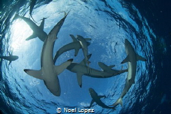 school of silky sharks, gardens of the queen, cuba , niko... by Noel Lopez
